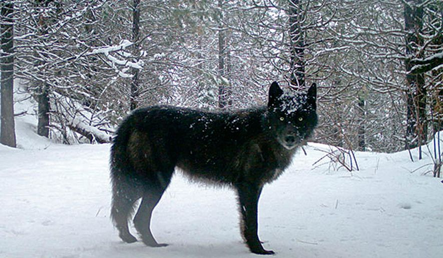 FILE - This February, 2017 file photo provided by the Oregon Department of Fish and Wildlife shows a wolf of the Wenaha Pack captured on a remote camera on U.S. Forest Service land in Oregon's northern Wallowa County. The Oregon Department of Fish and Wildlife said in a report released Monday, April 8, 2019 that the number of known wolves in Oregon at the end of 2018 was 137, a 10 percent increase over the previous year. (Oregon Department of Fish and Wildlife via AP, File)