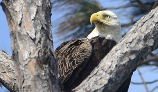 A bald eagle finds some respite from the wind while searching for food on Okaloosa Island near Fort Walton Beach, Florida, in this photo from March 2017. (Devon Ravine/Northwest Florida Daily News via AP) ** FILE **
