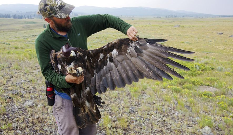 Thus undated photo provided by the National Park Service shows an unidentified scientist with a golden eagle that has been fitted with a tracking device, the first golden eagle to be fitted with such a device in Yellowstone National Park, Wyo. Officials say this bird has died of lead poisoning. Golden eagles often scavenge during the fall and winter. Scientists suspect the adult female may have eaten carrion containing lead bullet fragments. Some advocacy groups have called for hunters to use bullets made of copper to help prevent such deaths. (National Park Service via AP)