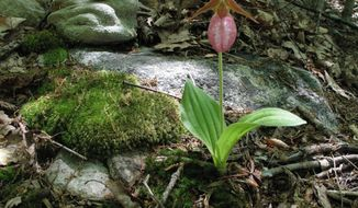 This May 10, 2009 photo shows a pink ladyslipper orchid thriving in a forest near New Market, Va. Horticulturists recommend that gardeners purchase their wildflowers from specialty nurseries rather than remove them from their native habitat because growing conditions differ so greatly in residential landscapes. Moreover, the practice often is banned because so much damage can be done to wild populations through digging. (Dean Fosdick via AP)