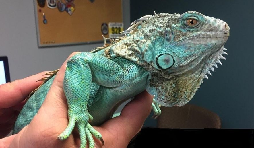 This photo provided by Painesville police shows an officer holding an iguana at the police station on Tuesday, April 16, 2019 in Painesville, Ohio.  Police say an unruly customer at a restaurant pulled the iguana from under his shirt, swung it around and threw it at the manager. Police say they apprehended the suspect a few blocks away in the city roughly 30 miles (48 kilometers) northeast of Cleveland. Authorities did not say what provoked the attack.  (Painesville Police Department via AP)