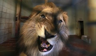 A lion is seen in its cage at a zoo in Tirana, Thursday, April 18, 2019. An international animal welfare charity was locked in a spat Thursday with the Albanian government over three lions destined for a sanctuary in the Netherlands. (AP Photo/Hektor Pustina)