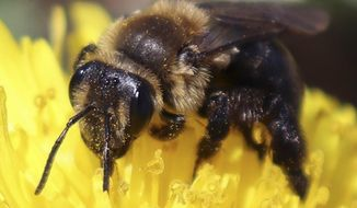 This 2018 photo provided by the University of New Hampshire shows a ground nesting bee pollinating a flower in New Hampshire. The species is one of 14 declining wild bee species identified in a study published in April 2019 by researchers at the university. The new study has found that more than a dozen wild bee species critical to pollinating fruits and vegetables across New England are on the decline. (University of New Hampshire/Molly Jacobson via AP)