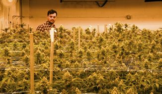 Oswaldo Barrientos walks among marijuana plants at the grow facility where he works near downtown Denver on Wednesday, April 3, 2019. He said U.S. immigration officials blocked his application for citizenship because he works in the marijuana industry. Barrientos was brought to the U.S. from El Salvador illegally as a child and started working in the industry in 2014. (AP Photo/Thomas Peipert)