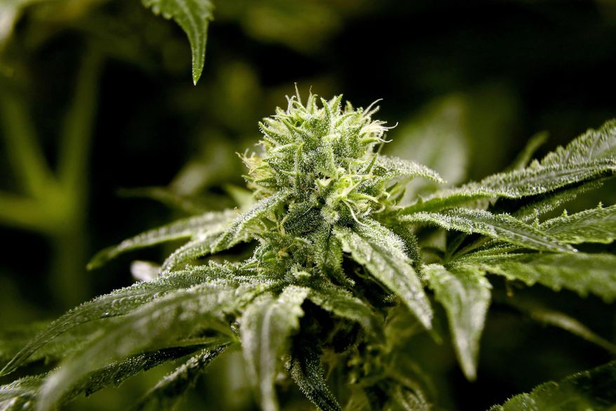 This March 22, 2019 file photo shows a bud on a marijuana plant at Compassionate Care Foundation's medical marijuana dispensary in Egg Harbor Township, N.J. (AP Photo/Julio Cortez, File)