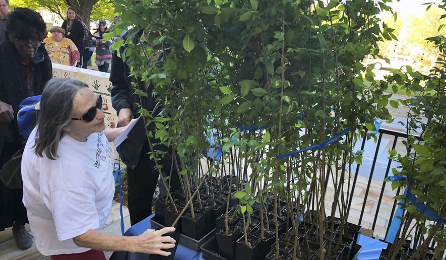 """Sheridean McMahan, of Jones, Okla., picks out an American elm sapling in Oklahoma City, Friday, April 19, 2019. The tree grew out of a seed from the """"Survivor Tree"""" that is a symbol of hope after the deadly 1995 Oklahoma City bombing. Science and technology are helping Oklahoma City to sustain the DNA of a tree symbolizing hope 24 years after the deadliest act of domestic terrorism on U.S. soil. As part of an annual remembrance of the bombing, civic leaders on Friday plan to transplant a tree that was cloned from a scarred American elm that lived through the blast. They hope the younger elm will replace the nearly 100-year-old """"Survivor Tree"""" once it dies. (AP Photo/Adam Kealoha Causey)"""