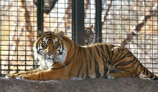 This Nov. 2018 file photo shows Sanjiv, a Sumatran tiger at the Topeka Zoo  in Topeka, Kansas.  City officials say Sanjiv, mauled a zookeeper early Saturday, April 20, 2019 in a secured indoor space at the zoo.  Topeka Zoo director Brendan Wiley says the zookeeper was awake and alert when she was taken by ambulance to a hospital. Wiley said he did not know the extent of her injuries. The zookeeper's name has not been released.  (The Topeka Capital-Journal via AP)