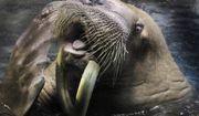 A male walrus pokes his tongue out at his trainer during a practice at the Hakkeijima Sea Paradise aquarium-amusement park complex in Yokohama, near Tokyo, Japan, Saturday, Feb. 4, 2012. (AP Photo/Itsuo Inouye) ** FILE **