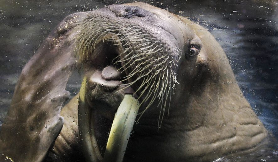 A male walrus pokes his tongue out at his trainer during a practice at the Hakkeijima Sea Paradise aquarium-amusement park complex in Yokohama, near Tokyo, Japan, Saturday, Feb. 4, 2012. (AP Photo/Itsuo Inouye) ** FILE **