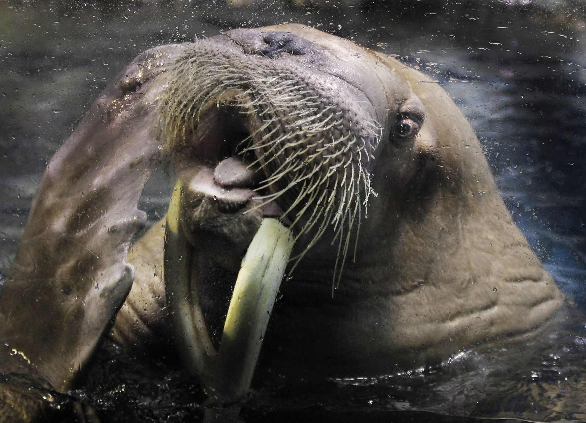 Netflix series challenged on claim that climate change causes cliff-diving walruses