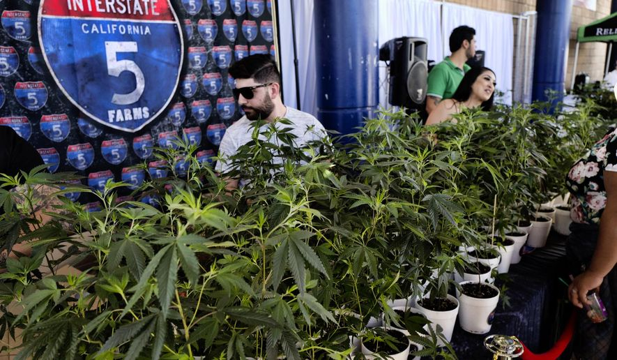 FILE - This Oct. 20, 2018, file photo shows marijuana clone plants displayed for sale by Interstate 5 Farms at the cannabis-themed Kushstock Festival at Adelanto, Calif. California legislators are considering a plan to encourage more banks to do business with its legal marijuana industry. (AP Photo/Richard Vogel, File)