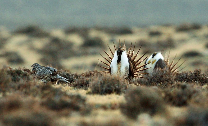 File - This April 10, 2014 file photo shows a male sage grouse trying to impress a group of hens, at left, near the base of the Rattlesnake Range in southwest Natrona County, Wyo. Four conservation groups have asked a judge to block a Trump administration plan allowing drilling, mining and other activities in seven western states they say will harm sage grouse. Western Watersheds Project and other groups asked for the injunction in U.S. District Court in Idaho late last week for Idaho, Wyoming, Utah, Colorado, Nevada, California and Oregon. (Alan Rogers/The Casper Star-Tribune via AP, File)