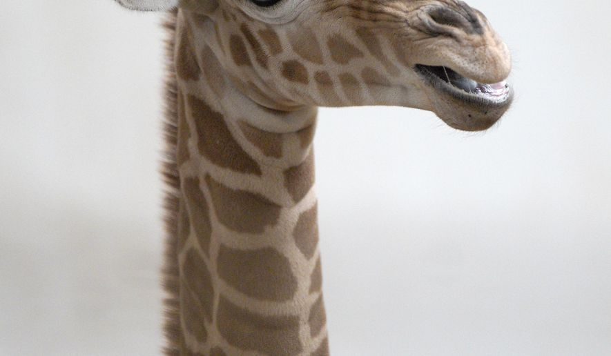 A reticulated giraffe calf, born on April 16, 2019, is on display at the Henry Doorly Zoo in Omaha, Neb., Tuesday, April 23, 2019. The public is invited to help name the calf by submitting name suggestions through a Facebook contest that will begin on April 26. (AP Photo/Nati Harnik)