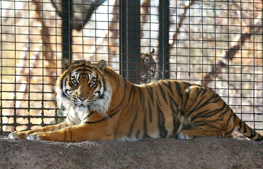 FILE - This November 2018 file photo shows Sanjiv, a Sumatran tiger at the Topeka Zoo in Topeka, Kansas. Officials are investigating animal handling protocols after Sanjiv attacked and seriously injured a Kansas zookeeper as she was cleaning the animal's enclosure.April 20, 2019, at the zoo. Topeka Zoo director Brendan Wiley said during a news conference Tuesday, April, 23, 2019 problems with the enclosure aren't to blame for Saturday's attack of 40-year-old Kristyn Hayden-Ortega. (Chris Neal/The Topeka Capital-Journal via AP, File)
