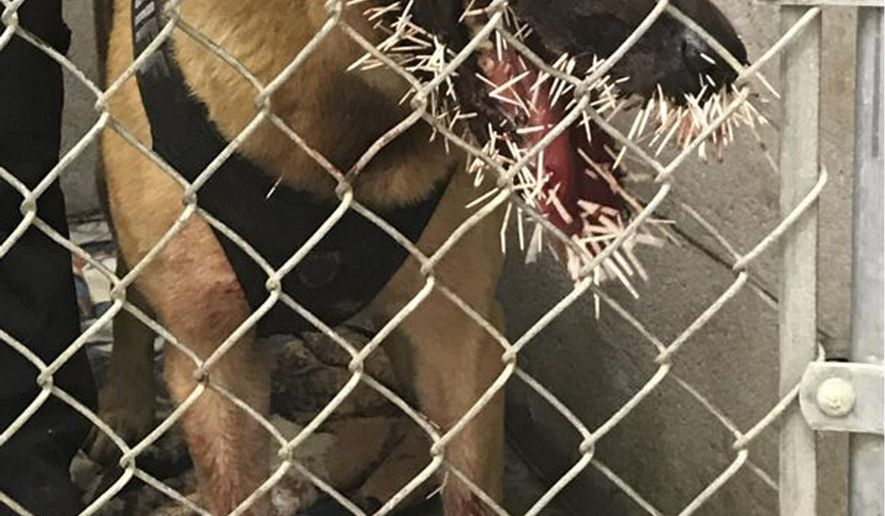 This photo taken Saturday, April 20, 2019, provided by the Coos County Sheriff's Department, shows Odin a police K-9 recovering after encountering a porcupine and getting stuck with over 200 quills in Coos Bay, Ore. The Coos County Sheriff's Office on Monday, April 22, said Odin was called to the scene to track a suspect on Saturday when the dog crossed paths with the porcupine. Photos showed the outcome, with several quills in Odin's mouth and two near his left eye. (Sgt. Adam Slater/Coos County Sheriff's Department via AP)