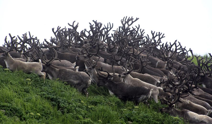 This undated photo provided by Pat Pletnikoff, shows reindeer traveling on Saint George Island near the village of Saint George, Alaska. A minister on another Alaska island is leading an effort to help the impoverished Native village create a new economy with the plentiful supply of reindeer that roam its island home. (Pat Pletnikoff via AP)