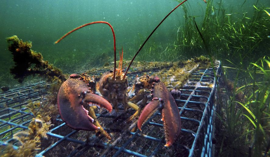 FILE - In this Sept. 5, 2018 file photo, a lobster walks over the top of a lobster trap off the coast of Biddeford, Maine. Interstate fishing regulators are grappling in April 2019 with new restrictions on lobster fishing, which faces new limitations designed to protect whales. (AP Photo/Robert F. Bukaty, File)