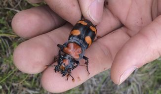 In this 2015 photo provided by the U.S. Fish and Wildlife Service is the American burying beetle handled by a service employee in Rock Island, R.I. U.S. wildlife officials say the endangered carnivorous beetle is making a comeback and should be downlisted to threatened. The beetle was listed as endangered in 1989 after its historic range over 35 states and three Canadian provinces shrank to just eastern Oklahoma and Block Island off the cost of Rhode Island. Officials say populations now also can be found in Arkansas, Kansas, Missouri, Nebraska, South Dakota, Texas, and on Nantucket Island off the coast of Massachusetts. (U.S. Fish and Wildlife Service via AP)