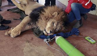 A team from the international animal welfare group Four Paws carry Lenci, a sedated lion, at Tirana Zoo, Albania on Tuesday, May 7, 2019. It is one of three lions, Lenci, Bobby and Zhaku, at the Tirana Zoo that will be transferred to the Felida Big Cat Centre in the Netherlands for better conditions. (AP Photo/Hektor Pustina)