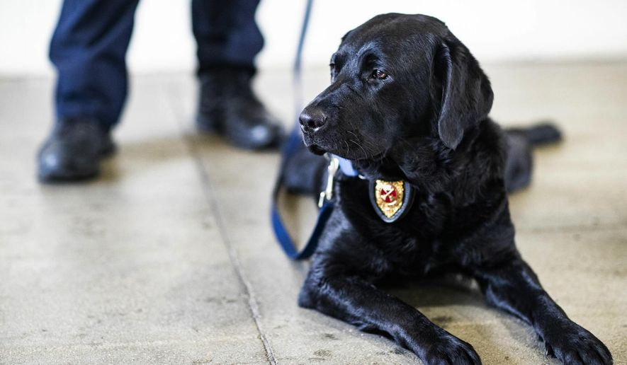 In a Thursday, Dec. 13, 2018 photo, Millie, an accelerant detection canine, lays on the ground while her handler, Michael Cornwell, is interviewed at Bowling Green Fire Department Station 5 in Bowling Green, Ky. Millie and BGFD Capt. Michael Cornwell, traveled to Boston this month to be recertified by the U.S. Bureau of Alcohol, Tobacco, Firearms and Explosives, a process each ATF-certified accelerant detection canine team must go through each year. Millie won the Top Dog competition at the ATF recertification.  (Austin Anthony/Daily News via AP)