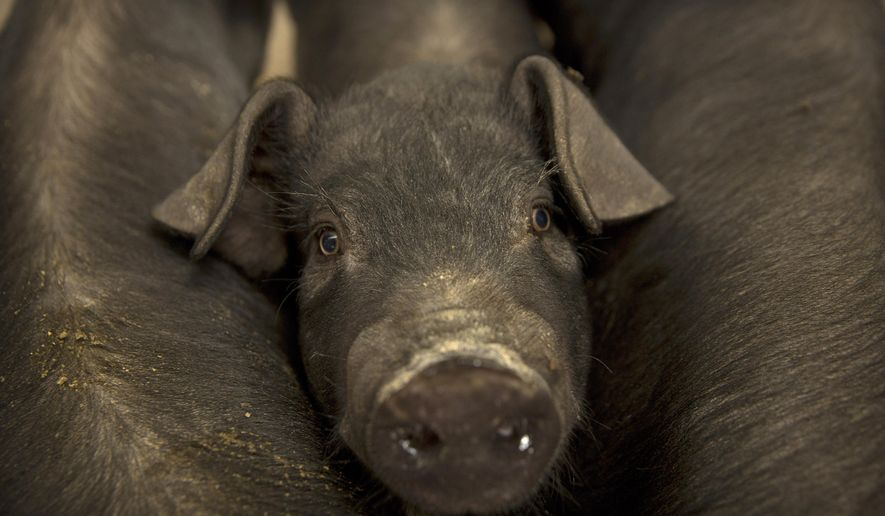 In this May 8, 2019, photo, a pig stands between other pigs in a barn at a pig farm in Jiangjiaqiao village in northern China's Hebei province. Pork lovers worldwide are wincing at prices that have jumped by up to 40 percent as China's struggle to stamp out African swine fever in its vast pig herds sends shockwaves through global meat markets. (AP Photo/Mark Schiefelbein)