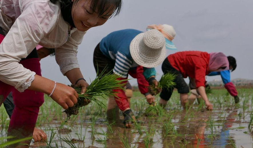 """In this May 17, 2019, photo, North Korean farmers plant rice seedlings in a field at the Sambong Cooperative Farm, South Pyongan Province, North Korea. North Korean state media said last week that 54.4 millimeters (2.1 inches) of rain fell in the first five months of 2019, which it said represented the lowest level since 1982. U.N. food agencies said earlier this month that about 10 million people were facing """"severe food shortages"""" after one of the North's worst harvests in a decade. (AP Photos/APTN)"""