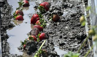 In this photo taken Monday, May 20, 2019, rain-ruined ripe strawberries lay in the mud of a berry field in Watsonville, Calif. Field workers throughout the Pajaro Valley are picking ripe berries and throwing them on the ground since they become moldy with the rains. Winter is long past but wet weather continues to roll through California, and it's beginning to become a problem for crops ranging from wine grapes to strawberries. (Dan Coyro/Santa Cruz Sentinel via AP)