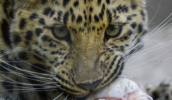 A report came out on Monday, May 6, 2019, that says one million different species are in imminent danger of extinction several of which are represented at Hogle Zoo like Jilin the Amur Leopard seen chewing on a bone recently.Francisco Kjolseth/The Salt Lake Tribune via AP)