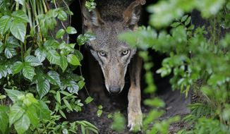 A female red wolf emerges from her den sheltering newborn pups at the Museum of Life and Science in Durham, N.C., on Monday, May 13, 2019. The Associated Press found that over the last two decades, more than half of Mexican wolf deaths and about one in four red wolf deaths resulted from gunshots or were otherwise deemed illegal. (AP Photo/Gerry Broome)