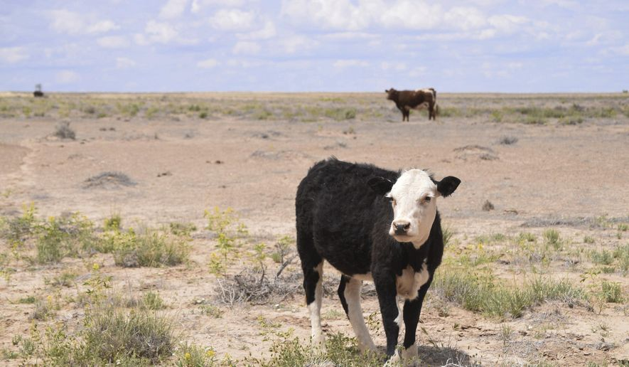 Cattle graze in the Shiprock, N.M., desert in this photo taken May 15, 2019. At least 17 cows have died this month, presumably from eating toxic plants on the range. (Vida Volkert/Gallup Independent via AP)