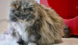Griselda , 11, a domestic long-haired cat, already declawed when she was surrendered by her owner for adoption, plays inside her enclosure at the Animal Haven pet shelter, Tuesday June 4, 2019, in New York. New York's Legislature passed a bill Tuesday that would make the state the first in the U.S. to make it illegal to declaw a cat . The bill, which would subject veterinarians to $1,000 fines for performing the operation, now heads to the desk of Gov. Andrew Cuomo, whose representatives said he will review the bill before deciding if he will sign it. AP Photo/Bebeto Matthews)