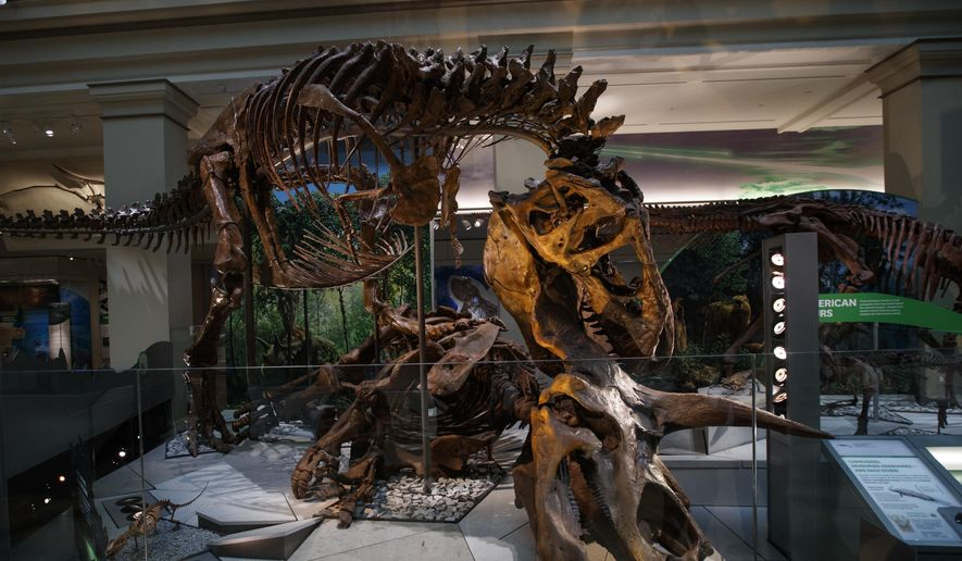 """A Tyrannosaurus rex skeleton is seen on display biting a Triceratops during the Smithsonian's National Museum of Natural History's """"David H. Koch Hall of Fossils-Deep Time"""" during a media preview in Washington, Tuesday, June 4, 2019. (AP Photo/Carolyn Kaster) ** FILE **"""