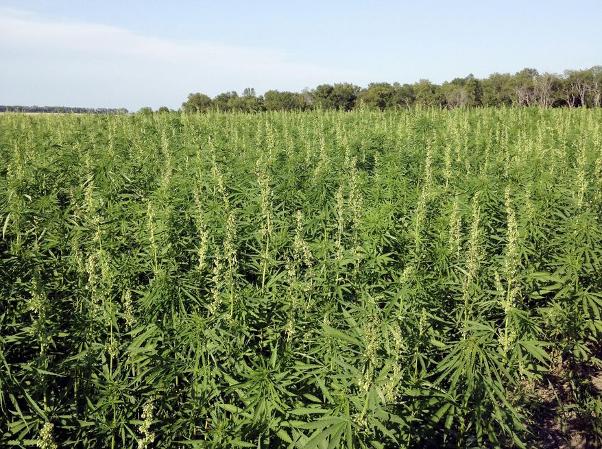 This July 2016 photo provided by the North Dakota Department of Agriculture shows industrial hemp growing in a field in North Dakota's Benson County. In Arizona, farmers will soon begin planting commercial hemp under a 2018 state law that just took effect once the state issues required licenses. (North Dakota Department of Agriculture via AP,File)
