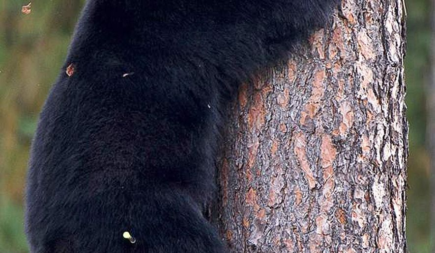 FILE - In this Sept. 24, 2014, file a young black bear climbs down from a tree near Woodland Middle School in Coeur d'Alene, Idaho. Three conservation groups say hunting black bears in Idaho and Wyoming using bait should be banned because hunters have killed federally protected grizzly bears attracted to the food. (Tess Freeman/Coeur d'Alene Press via AP, File)