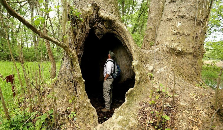 Ohio Department of Natural Resources Forester, Alistair Reynolds, stands in the hollowed out trunk of the current record holder for the largest Eastern Sycamore in the nation, Wednesday, May 22, 2019, in  Ashland County, Ohio. Reynolds goes around the state measuring trees as part of ODNR's Big Tree Program that encourages people to locate, measure, record, and appreciate the largest tree species in Ohio. (Courtney Hergesheimer/The Columbus Dispatch via AP)