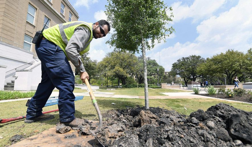 In this photo taken April 4, 2019, ISA certified arborist supervisor J.J. Aguilar, of SSC Services for Education, shovels dirt beside a young live oak tree, one of six new trees near Texas A&M University's Spirit Plaza planted to replace ones that were in poor health in College Station, Texas. Thousands of trees at the university are getting a closer look to make sure they are thriving. The Eagle reports the large-scale project involves recording data on the estimated 11,000 trees on campus to improve their health, plus to help make way for new trees. (Laura McKenzie/College Station Eagle via AP)