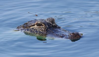 A damselfly prepares to land on the head of a young alligator swimming in a pond near the eighth hole during the third round of the Honda Classic golf tournament, Saturday, March 2, 2019, in Palm Beach Gardens, Fla. (AP Photo/Wilfredo Lee)