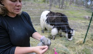In a May 30, 2019 photo, Julie Smoragiewicz shows the fibre plucked from a yak at Yak Ridge Cabins and Farmstead near Cosmos Mystery Area in Rapid City.  (Adam Fondren/Rapid City Journal via AP)