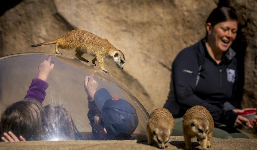 In this April 16, 2019 photo, senior Africa keeper Jenna Wingate sits in the meerkat exhibit at the Cincinnati Zoo and Botanical Garden in Cincinnati. Wingate has worked for years to build a relationship with the meerkats and earn their trust. (Meg Vogel/The Cincinnati Enquirer via AP)