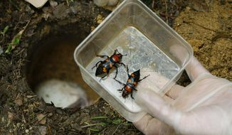 In this May 23, 2018, photo, Stephanie Hylinski of the Boonshoft Museum in Dayton, holds a pair of American burying beetles before releasing them at The Wilds in Cumberland, Ohio. The beetles, which were the first insect to be named to the federally endangered list, have been bred in captivity and been released for the past 20 years. (Adam Cairns/The Columbus Dispatch via AP)