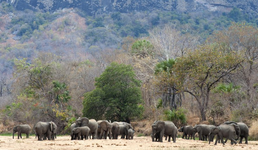 In this photo supplied by Wildlife Conservation Society (WCS) elephants drink water at a watering hole near Mbamba Village, in the Niassa game reserve, in an area larger than Switzerland it is one of Africa's largest wildlife preserves in Mozambique, Sept. 26, 2016. The Niassa reserve on Saturday June 15, 2019, is marking a year without a single elephant found killed by poachers, which experts believe is because of a new rapid air intervention police force to patrol an area where thousands of the animals have been slaughtered in recent years, according to the New York based Wildlife Conservation Society which runs the reserve with Mozambique's government. (Michael D. Kock / Wildlife Conservation Society via AP)