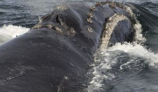 FILE - In this Aug. 6, 2017, file photo, provided by NOAA Fisheries a North Pacific right whale swims in the Bering Sea west of Bristol Bay. Federal scientists with the National Oceanic and Atmospheric Administration have recorded singing by a rare right whale for the first time. Researchers used moored acoustic recorders to capture patterned calls made by male North Pacific right whales. Researchers detected four distinct songs over eight years at five locations in the southeast Bering Sea. (NOAA Fisheries via AP, File)