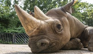 In this undated photo provided by Safari Park Dvur Kralove, Black Rhino Manny is photographed at Safari Park Dvur Kralov, in Dvur Kralove nad Labem, Czech Republic. Officials say five critically endangered eastern black rhinos from wildlife parks in three European countries are ready for a transport back to their natural habitat in Rwanda, where the entire rhino population was wiped out during the genocide in the 1990s. (Oliver Le Que/Safari Park Dvur Kralove via AP)