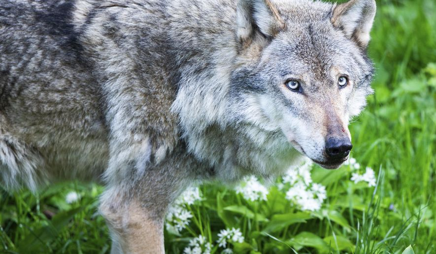 File -- In this Tuesday, May 7, 2019 photo a grey wolf walks in its enclosure in the wildlife park 'Wisentgehege Springe' (wisent enclosure Springe) in Springe, central Germany. (Christophe Gateau/dpa via AP, file)