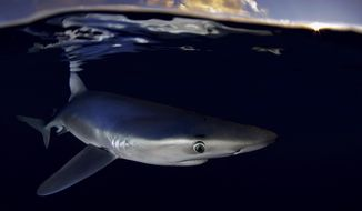 In this photo provided by Greenpeace dated 14 July 2012 shows a blue shark (prionace glauca) near the Azores. The environmental pressure group Greenpeace is warning about overfishing of endangered sharks in the North Atlantic, largely by Spanish and Portuguese boats, publishing a report Thursday June 27, 2019, arguing that tens of thousands of endangered sharks are killed each year. (Robert Marc Lehmann/Greenpeace via AP)