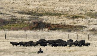 FILE - In this Oct. 17, 2017 file photo a rider on a four wheeler approaches a group of bison in a holding pasture on the National Bison Range near Moise, Mont. during the annual bison roundup. A 10-month investigation by the Missoulian found that the bison range's shrinking annual budget has led to cuts in staff, visitor hours and buildings left in disrepair. (Kurt Wilson/The Missoulian via AP, File)