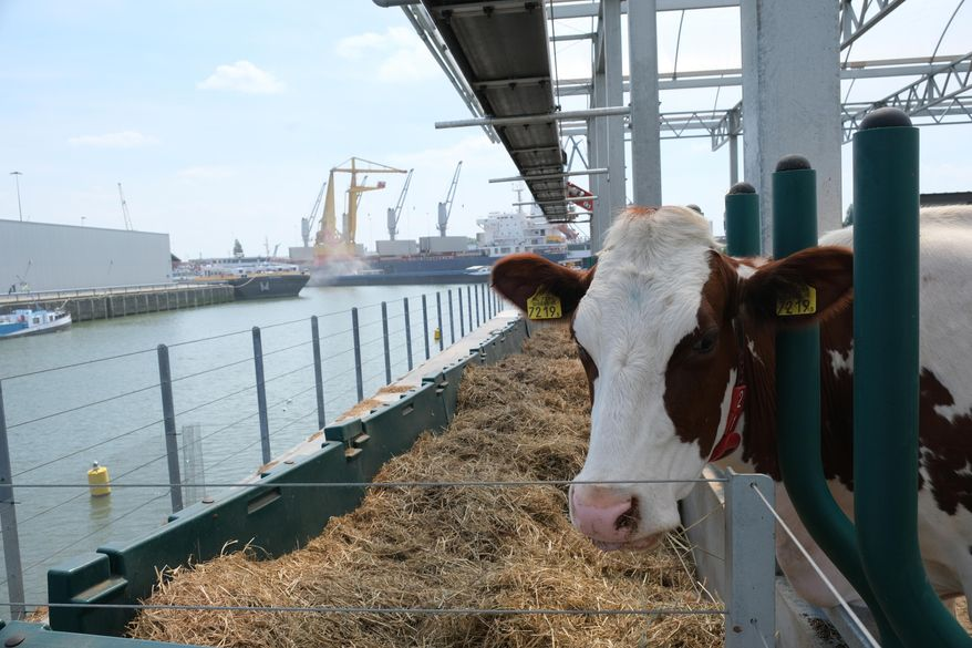 In this photo taken Monday, June 24, 2019, one of the inhabitants of a futuristic three-storey floating dairy farm moored in Rotterdam harbour, Netherlands.  The floating farm has one robot that milks the cows, another that automatically scoops up the manure, and a roof designed to collect rain water, making it a sustainable inner-city producer of dairy foods aimed at feeding the increasing populations within world cities according to the small holding farmer Peter van Wingerden.(AP Photo/Mike Corder)
