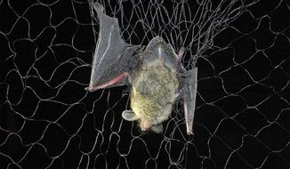 FILE - This July 7, 2016 file photo shows a bat. The fungus that causes a deadly disease in bats has been detected in California for the first time. U.S. Fish and Wildlife Service wildlife refuge specialist Catherine Hibbard said Friday, July 5, 2019, samples collected this spring from bats on private land in the Northern California town of Chester tested positive for the fungus. (Bob Timmons/Star Tribune via AP, File)