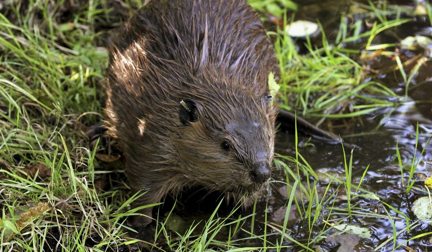FILE - In this Sept. 12, 2014, photo, a tagged young beaver explores water hole near Ellensburg, Wash., after he and his family were relocated by a team from the Mid-Columbia Fisheries Enhancement Group. Environmental advocates in New Mexico are pushing for the state to change its policies around beavers, the pesky animals they say provide ecological benefits for river and stream. The Santa Fe New Mexican reports on June 29, 2019, WildEarth Guardians and other groups want New Mexico wildlife officials to rethink how it manages beaver populations, including policy revisions on beaver removal and relocation. (AP Photo/Manuel Valdes, File)