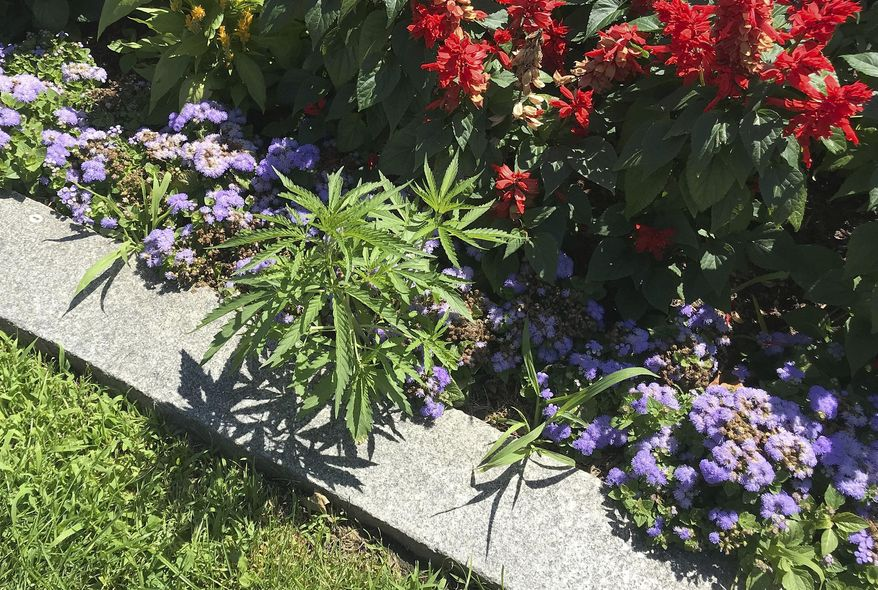 This photo released Friday, July 12, 2019, by the Vermont Capitol Police shows cannabis plants, left, growing on the grounds of the Statehouse in Montpelier, Vt. Police said they found a total of 34 plants during the week among the cultivated flowers that line the walkway in front of the building, but it hadn't been confirmed if the immature plants were marijuana or hemp. (Matthew Romei/Vermont Capitol Police via AP)